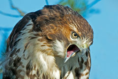Red-Tailed Hawk. Angry Red-tailed Hawk Close Up Stock Images