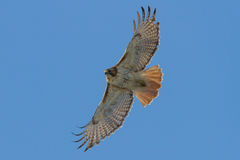 Red-tailed Hawk Stock Photo
