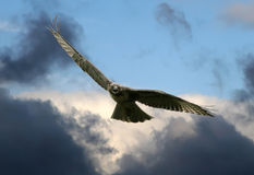 Red-tailed Hawk. A Red-tailed Hawk soars in a stormy sky Stock Photos