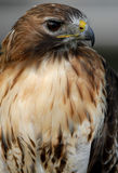 Red Tailed Hawk. Photo of tethered Red Tailed Hawk royalty free stock photography