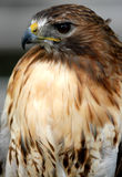 Red Tailed Hawk. Photo of tethered Red Tailed Hawk royalty free stock images