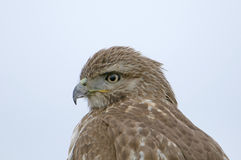 Red tailed hawk Stock Photography