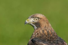 Red-tailed Hawk. Head profile. Wild bird, not in captivity Stock Images