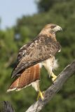 Red tailed hawk. Perched on branch Royalty Free Stock Photography