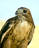 Red-tailed Hawk. Portrait of red-tailed hawk Royalty Free Stock Photo