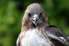 Red-Tailed Hawk Royalty Free Stock Images