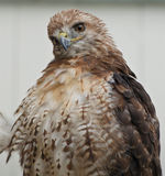 Red-tailed hawk. Red tailed hawk in ireland Stock Image