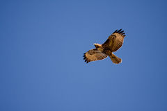 Free Red-tailed Hawk Royalty Free Stock Photo - 8524755