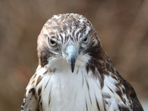 Red-tailed Hawk. Stock Images