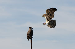 Red Tailed Hawk Attacking Artificial Owl Stock Images
