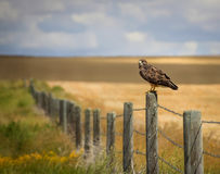 Red-Tailed Hawk. On a barbed-wire fence post in farmland Alberta Stock Photos