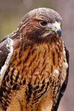 Red-tailed Hawk with Beautiful Plumage. A closeup view of a Red-tailed hawk. Red-tailed hawks feed on a variety of mammals, retiles and insects. They are found Stock Photo