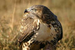 Red Tailed Hawk Blood On Beak Stock Photography