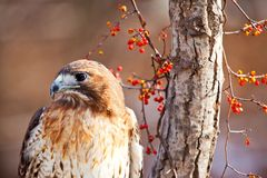 Red Tailed Hawk on Branch Stock Image