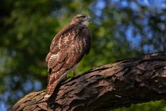 Red-Tailed Hawk on a branch stock photos