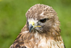 Red-tailed Hawk (Buteo jamaicensis). A young Red-tailed Hawk (Buteo jamaicensis Stock Image