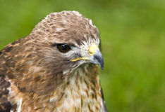 Red-tailed hawk (Buteo jamaicensis). A young Red-tailed hawk, better known in North America as the Chickehawk Stock Photos