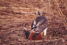 Red-tailed Hawk (Buteo jamaicensis). A Red-tailed Hawk (Buteo jamaicensis) in northern Illinois Royalty Free Stock Photo