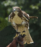 Red tailed hawk (buteo jamaicensis). Juvenile red tailed hawk on falconers glove Stock Images
