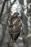 Red Tailed Hawk (Buteo Jamaicensis) Royalty Free Stock Photo