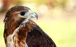 Red-tailed Hawk (Buteo jamaicensis) Stock Photography