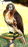 Red-tailed Hawk (Buteo jamaicensis) Royalty Free Stock Images