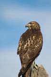 Red-tailed Hawk, Buteo jamaicensis Stock Photos
