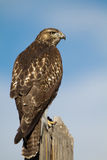 Red-tailed Hawk, Buteo jamaicensis Stock Photo