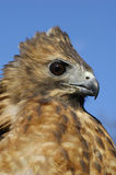 Red-tailed Hawk (Buteo jamaicensis) Royalty Free Stock Photo