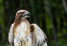 Red-tailed Hawk (Buteo jamaicensis) Stock Image