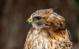 The red-tailed hawk - Buteo jamaicensis royalty free stock images