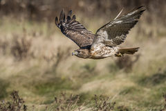Red-tailed hawk (Buteo jamaicensis) Stock Photo