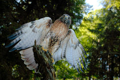 Red-tailed Hawk, Buteo jamaicensis, bird of prey portrait with open bill with blurred habitat in background, green forest, USA Royalty Free Stock Image