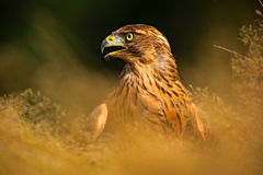Red-tailed Hawk, Buteo jamaicensis, bird of prey portrait with open bill with blurred habitat in background, hidden in the grass, Royalty Free Stock Photos