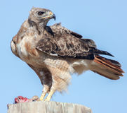 Red-tailed Hawk Buteo jamaicensis eating rodent Royalty Free Stock Images