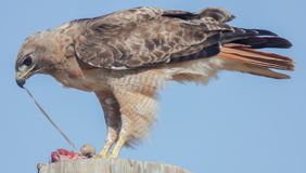Red-tailed Hawk Buteo jamaicensis eating rodent Royalty Free Stock Photography