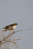 Red-tailed Hawk, Buteo jamaicensis Stock Photos