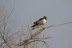 Red-tailed Hawk, Buteo jamaicensis Royalty Free Stock Photos