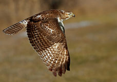 A Red-tailed hawk Buteo jamaicensis in flight. Red-tailed hawk Buteo jamaicensis in flight Royalty Free Stock Photo