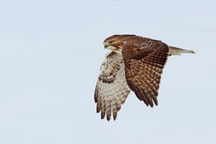 A Red-tailed hawk Buteo jamaicensis in flight. Red-tailed hawk Buteo jamaicensis in flight Royalty Free Stock Photography