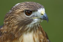Red-Tailed Hawk (Buteo jamaicensis) Head Stock Images