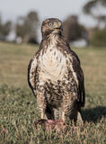 Red-tailed Hawk, Buteo jamaicensis, juvenile, eating a Squirrel eating a Squirrel. The red-tailed hawk (Buteo jamaicensis) is a bird of prey, one of three Stock Photography