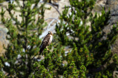 Red-tailed Hawk, Buteo jamaicensis Stock Image