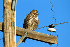 Red-tailed Hawk, Buteo jamaicensis Royalty Free Stock Image