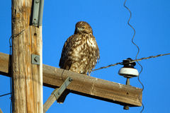 Red-tailed Hawk, Buteo jamaicensis Stock Photography