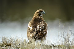 Red-tailed hawk (Buteo jamaicensis) Royalty Free Stock Photography