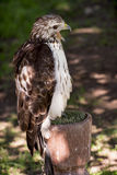 Red-tailed hawk (Buteo jamaicensis) on a perch Stock Image
