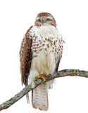 A Red-tailed hawk Buteo jamaicensis perched on branch. Red-tailed hawk Buteo jamaicensis perched on branch Royalty Free Stock Photos