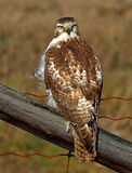 A Red-tailed hawk Buteo jamaicensis perched on fence. Red-tailed hawk Buteo jamaicensis perched on fence Royalty Free Stock Images