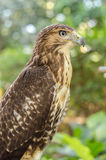 Red-tailed hawk (Buteo jamaicensis)  Portrait sitting on a stic Stock Image